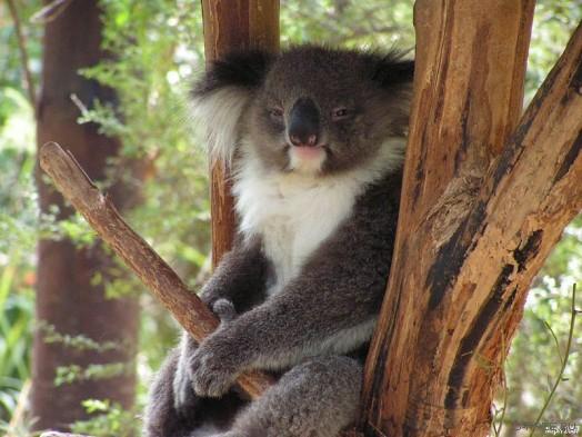 секс с коалой
