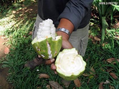 Индонезия. Плод какао