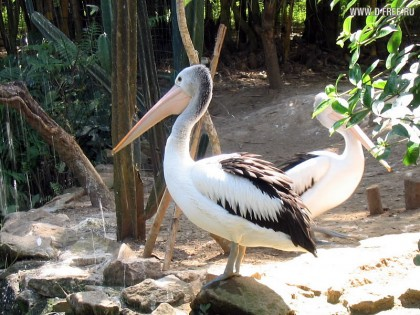 Индонезия. Пеликаны