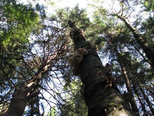 грибы на деревьях