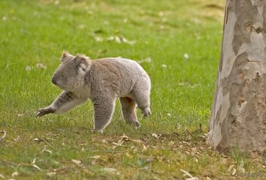 Кто трахнул коалу?