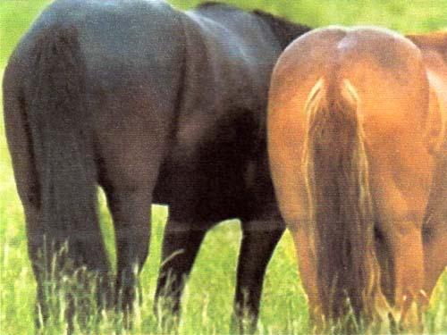лошадиная жопа